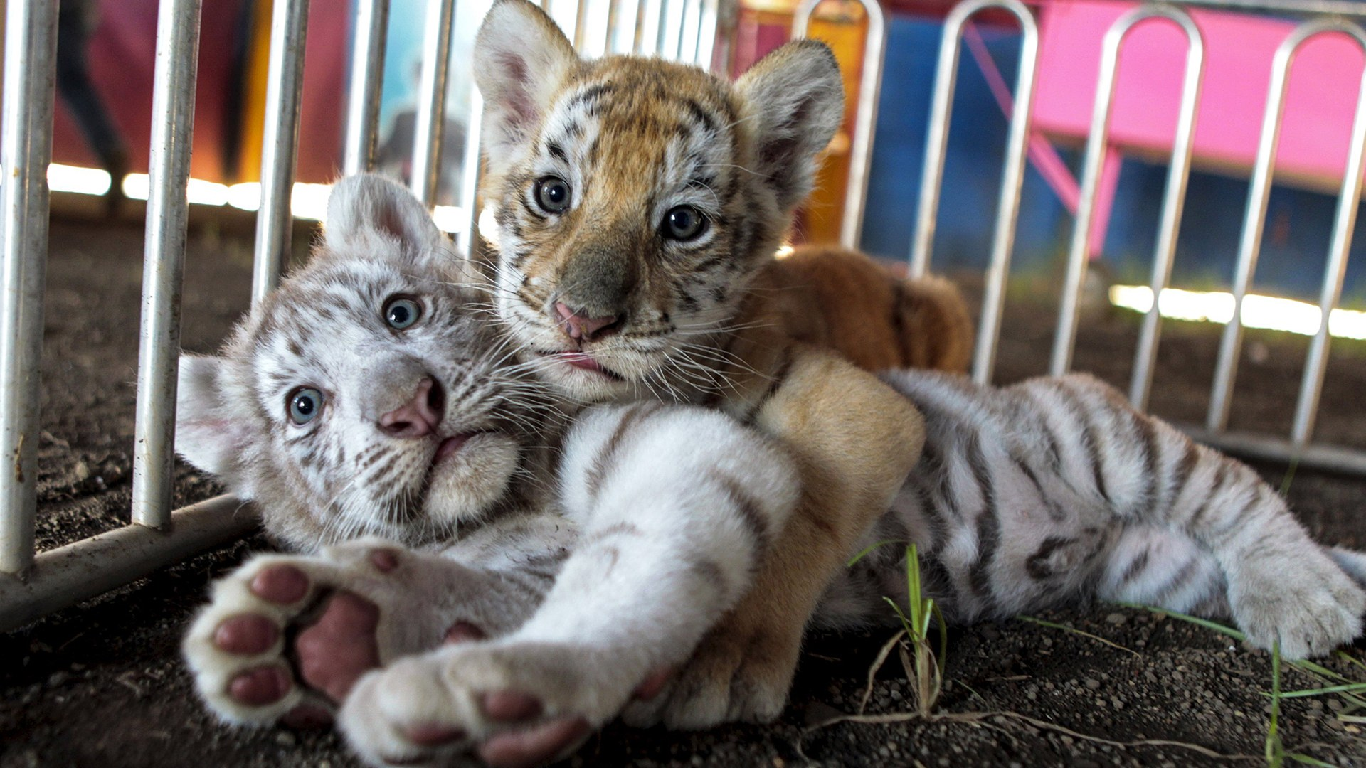 Image: A white Bengal tiger cub plays with its sister, a golden Bengal tiger cub, at the Circo de Renato  in Ciudad Sandino, Nicaragua