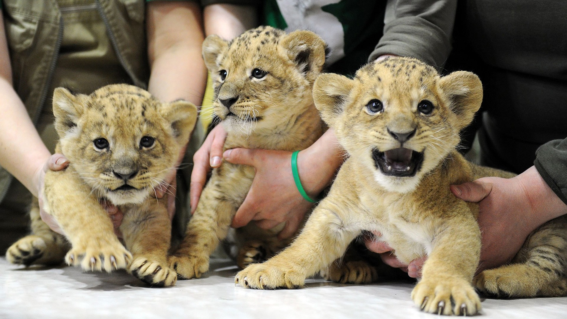 Employees present a newborn male and two female lion cubs to the public at the city zoo in Saint Petersburg, on April, 22, 2016.