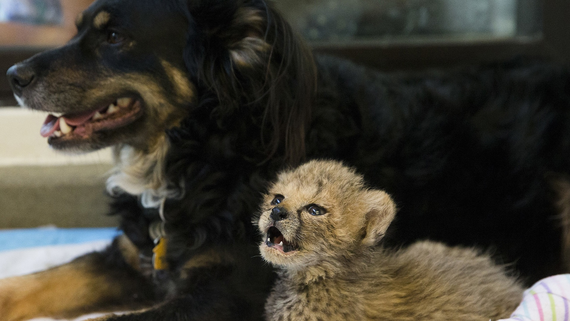 Resident nursery dog Blakely rests with a cheetah cub in the nursery at the Cincinnati Zoo & Botanical Gardens