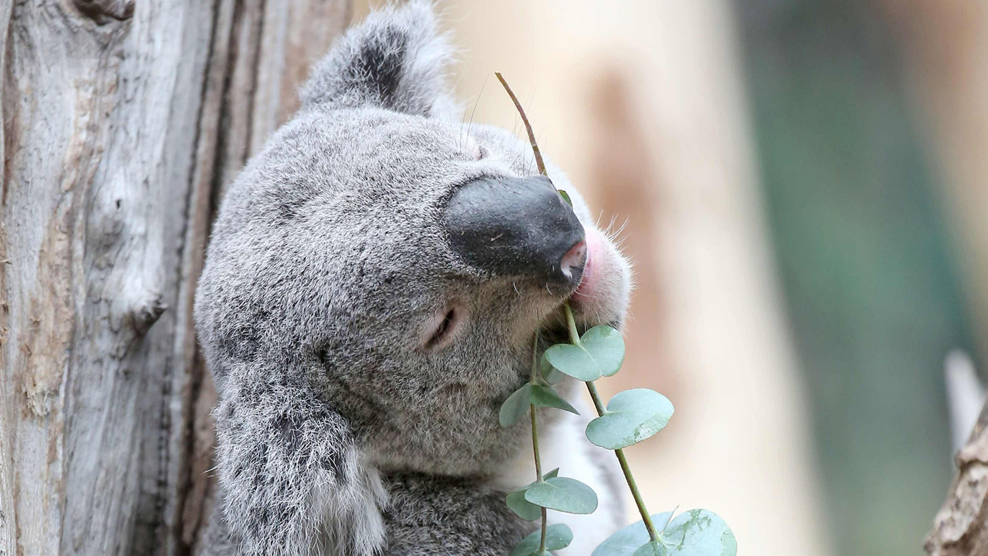 "Koala ""Oobi-Oobi"" enjoys some eucalyptus leaves in his new enclosure at the zoo in Leipzig, eastern Germany, on May 12th."