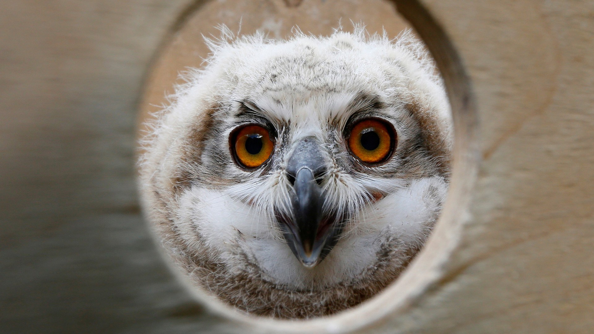 A 3-week-old Eurasian eagle owl looks out of a wooden box at the Royev Ruchey zoo on the suburbs of the Siberian city of Krasnoyarsk.