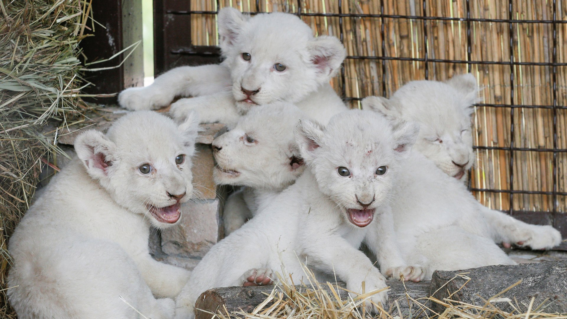 Newly-born white lion cubs are seen in their enclosure at private zoo outside of Kiev.