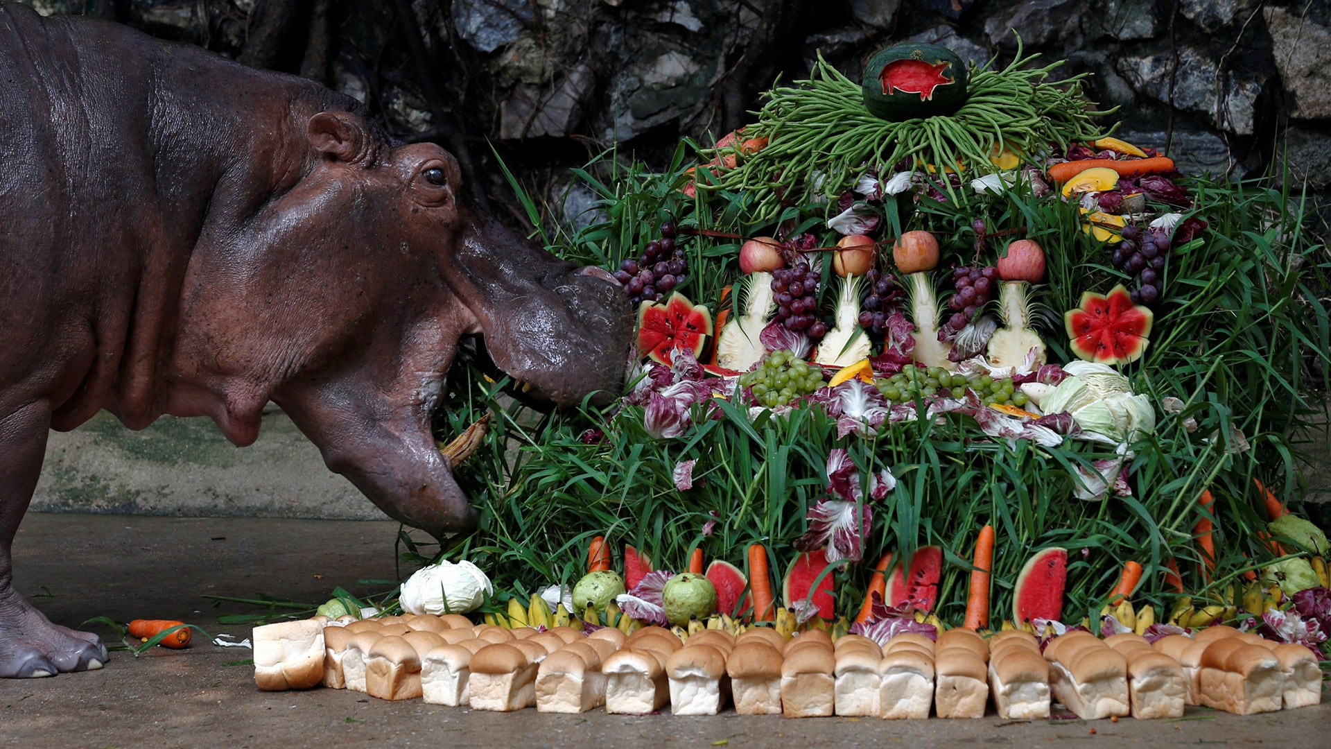 "Image: A female hippopotamus named ""Mali"", which means Jasmine, eats fruits arranged to look like a cake during her 50th birthday celebration at Dusit Zoo in Bangkok"