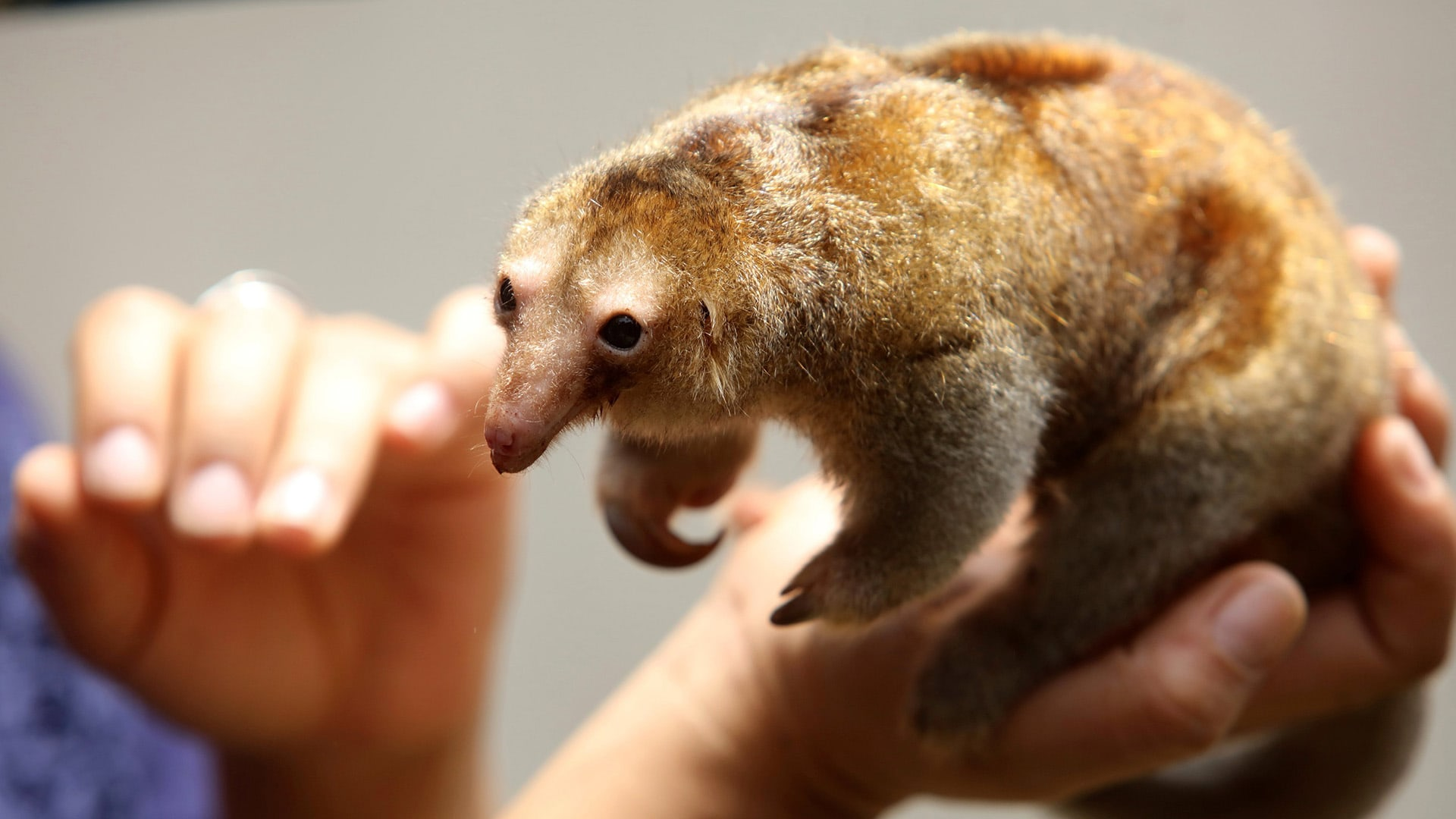 Image: A veterinarian holds Freddy, a pygmy anteater at the zoo park Huachipa during a press presentation in Lima