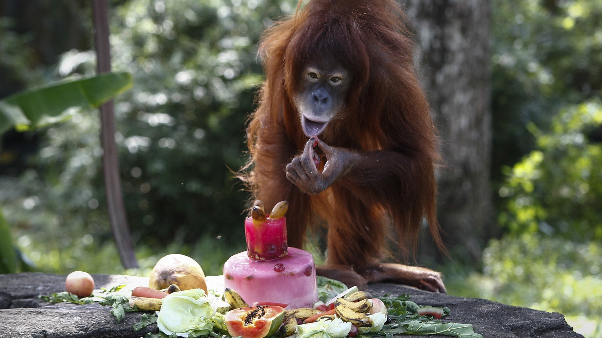 Tsunami, an eleven year old female Sumatran Orangutan eats a fruit platter during her birthday celebration at the National Zoo Ape Center in Kuala Lumpur, Malaysia