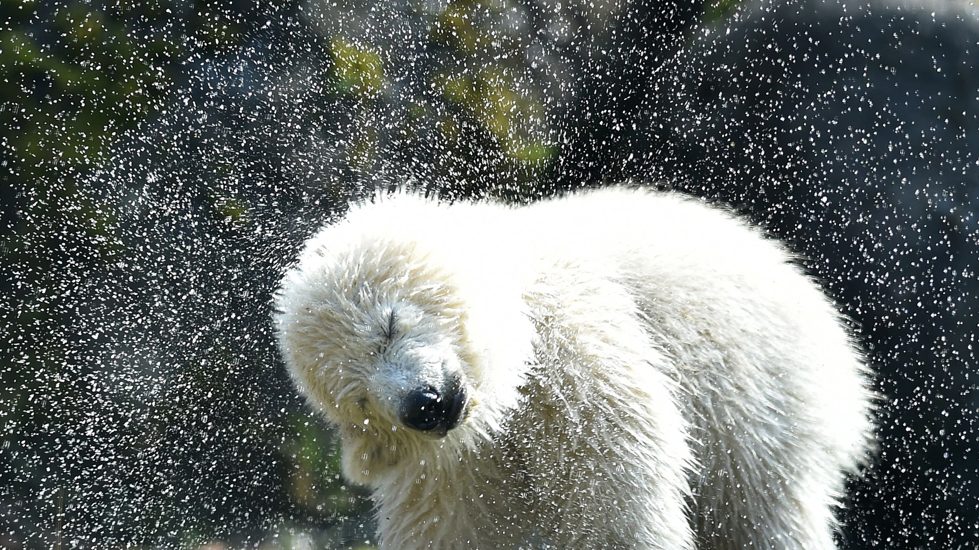 Animal Tracks: This 4-month-old polar bear finally has a ...