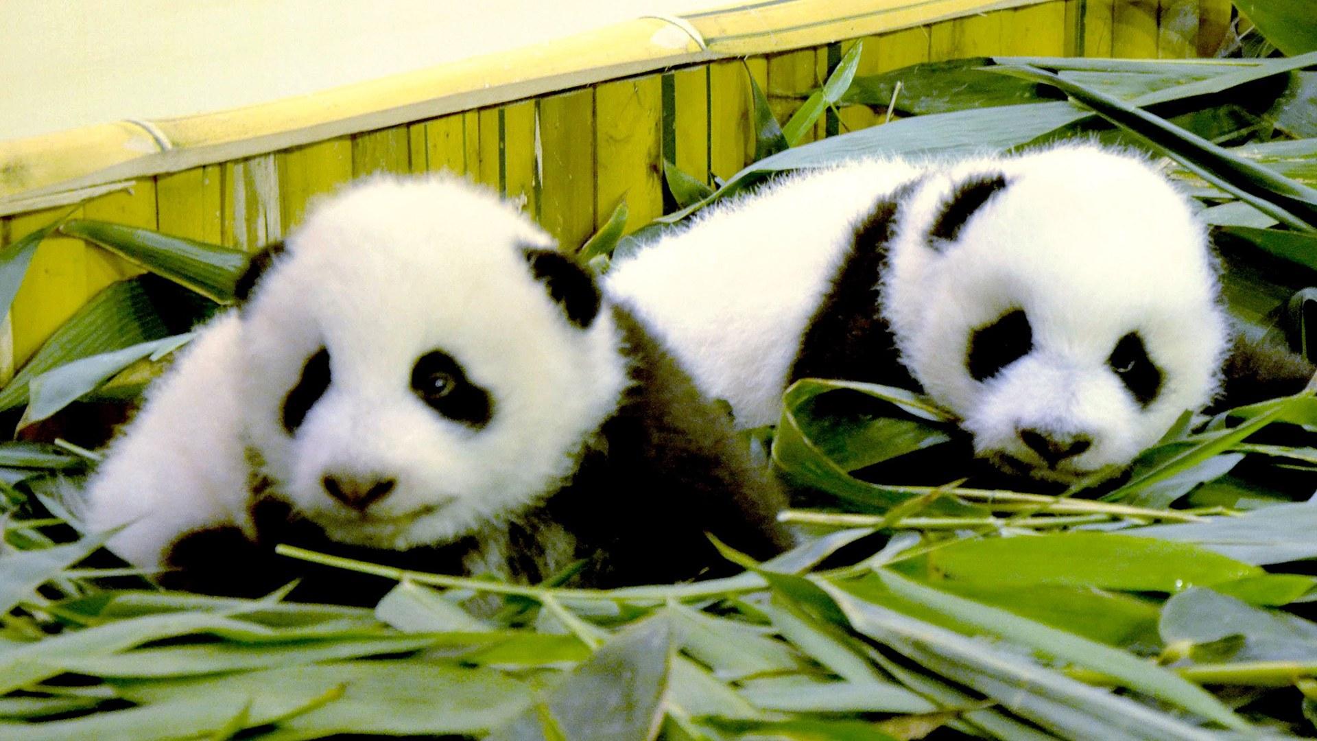 Image: CHINA-ANIMAL-GIANT-PANDA