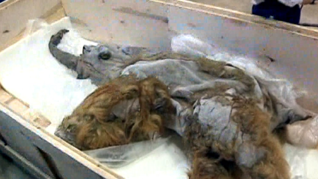 Well Preserved Mammoth Could Be Used For Cloning Today Com