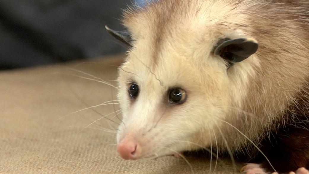 Meet Backyard Animals: An Opossum, A Gila Monster, And A Kestrel