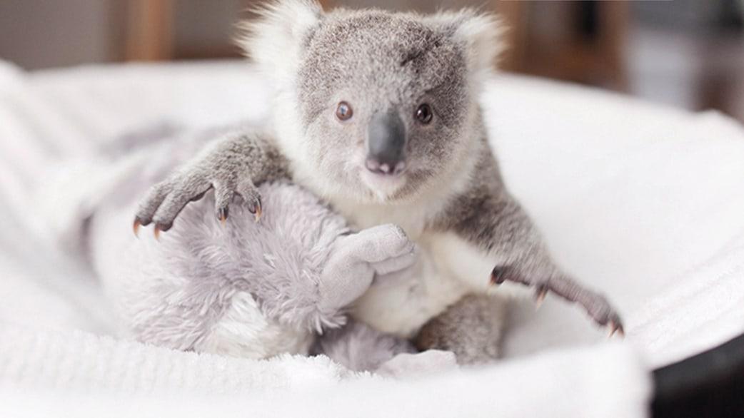 Baby Koala Images &amp...