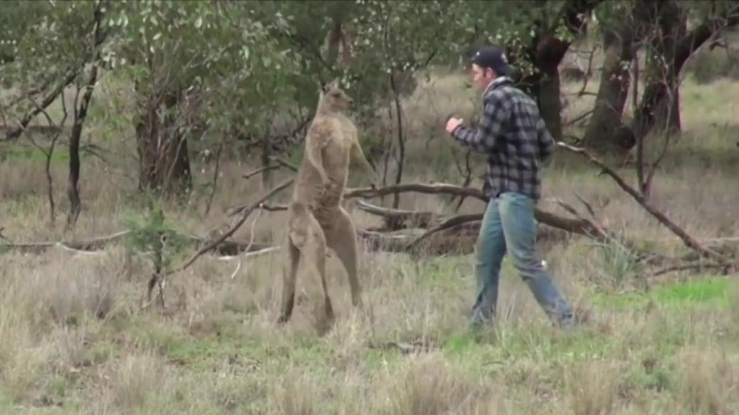 קאובוקס: בחור אוסטרלי מנהל קרב אגרוף עם קנגורו