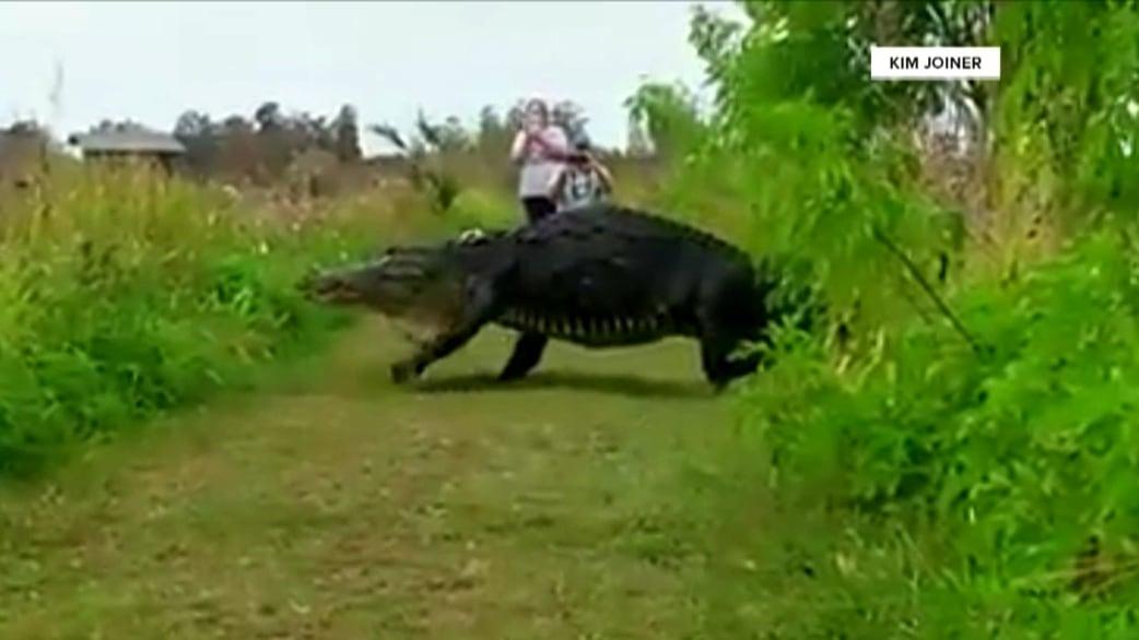 Meet the 14-foot Florida alligator that looks more like a dinosaur ...