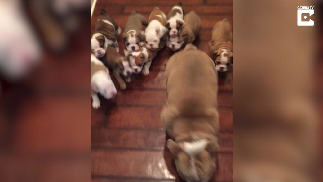This stampede of bulldog puppies is guaranteed to brighten ...