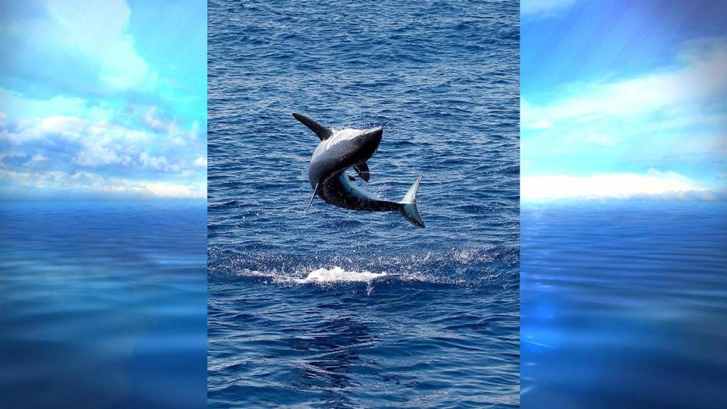 Who Knew How High A Mako Shark Can Jump Test Your Shark