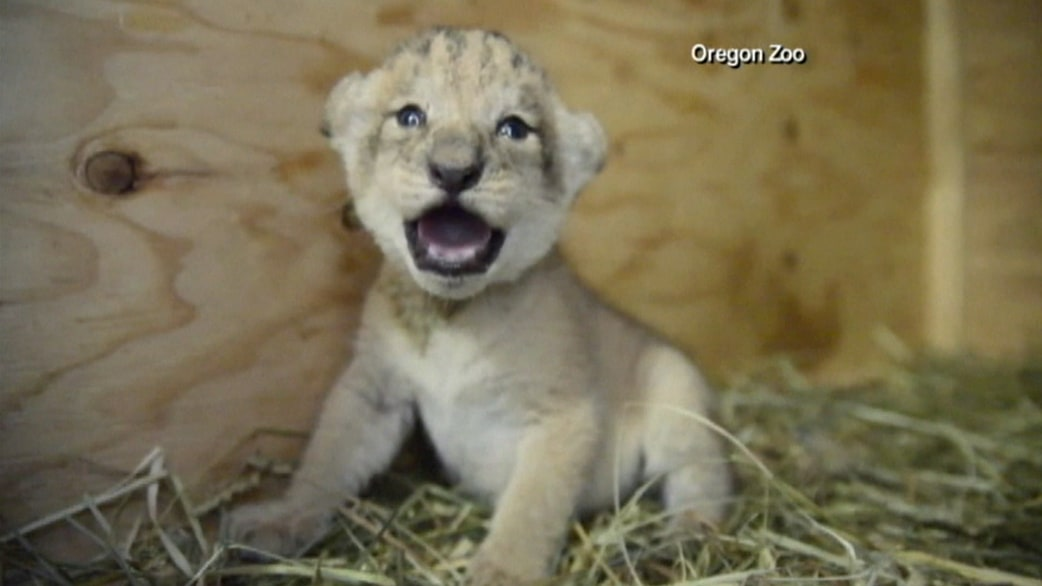 Oregon zoo welcomes three baby lion cubs today com