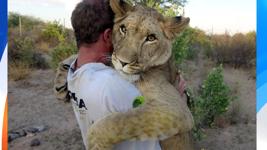 lioness reunites with two men who saved her today com