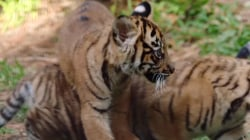 Adorable tiger cubs born at San Diego Zoo