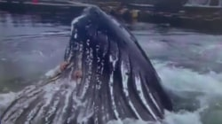 Whale of a catch! Humpback caught on camera in marina