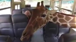 Hungry, hungry.. giraffes? Tourists freak out as animals enter tour bus