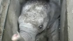 Baby elephant stuck in storm drain is rescued