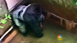 Debate Rages Over Gorilla Shot and Killed at Zoo to Protect Toddler