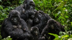 Harambe the gorilla's endangered brothers