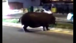 See Runaway Hippo on the Loose in Spanish Street