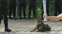 Jaguar killed after being photographed with Olympic torch