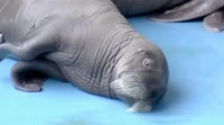 This baby walrus has us flipping out!
