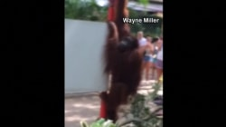 Orangutan Escapes Enclosure at Busch Gardens