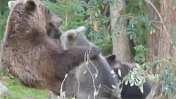 Adorable Bear Cubs Come Running for Feeding Time