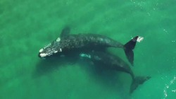 Watch Southern Right Whales on Annual Migration