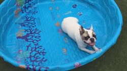This French bulldog just keeps swimming – without water