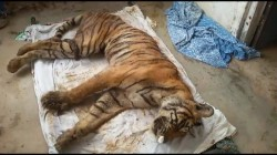 World's Oldest and Most Photographed Tigress Dies in India