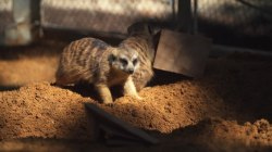 Whee! Watch these hyper meerkats play around at the Philadelphia Zoo