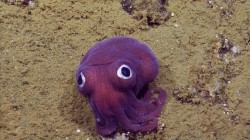 This googly-eyed squid is the cutest thing ever