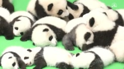 23 Cute Giant Panda Cubs Make Mass Public Debut
