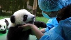 23 pandas make debut