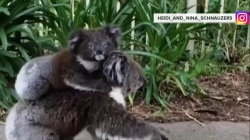 Watch this baby koala ride mama piggyback down suburban street