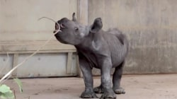 Blank Park Zoo welcomes adorable rhino calf
