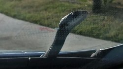 Snake Emerges From Hood of Man's Car