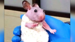 A Hairless Hamster Is Winter Ready with a Knit Sweater