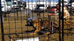 Tiger attack caught on camera: Trainer clawed, dragged in front of children
