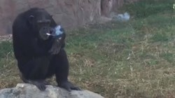 Zoo Chimp Smokes Pack a Day, But Doesn't Inhale