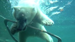 Watch Polar Cub Exploring its New Playground