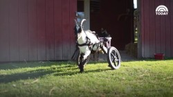 Watch this adorable goat rolling through the farm in his new wheelchair