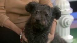 Meet the pumi, a new dog breed that looks like a koala