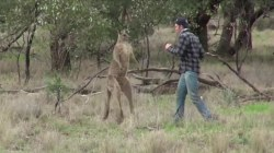 Watch this man punch a kangaroo in the face to save his dog