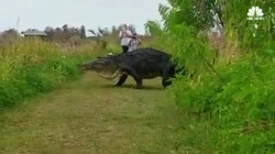 Gigantic Alligator Crosses Just Yards Away From Onlookers