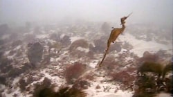 Rare Ruby Seadragon Captured On Video For First Time Ever